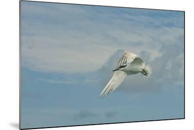 A Tern Flies in the Gracias a Dios Province, Honduras-Cristina Mittermeier-Mounted Photographic Print