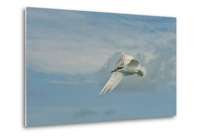 A Tern Flies in the Gracias a Dios Province, Honduras-Cristina Mittermeier-Metal Print