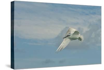 A Tern Flies in the Gracias a Dios Province, Honduras-Cristina Mittermeier-Stretched Canvas Print