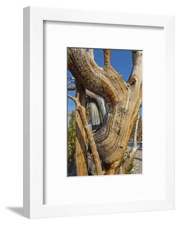 Great Basin Bristlecone Pines, Pinus Longaeva, Among World's Oldest Living Trees, Patriarch Grove-Gordon Wiltsie-Framed Photographic Print