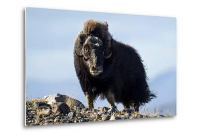 Strong Arctic Winds Billowing the Long Shaggy Coat of a Musk Ox Standing on a Tundra Hilltop-Jason Edwards-Metal Print