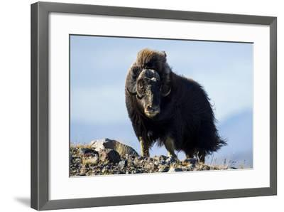 Strong Arctic Winds Billowing the Long Shaggy Coat of a Musk Ox Standing on a Tundra Hilltop-Jason Edwards-Framed Photographic Print