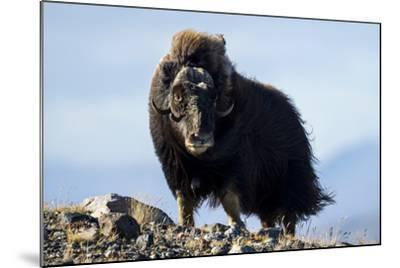 Strong Arctic Winds Billowing the Long Shaggy Coat of a Musk Ox Standing on a Tundra Hilltop-Jason Edwards-Mounted Photographic Print