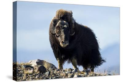 Strong Arctic Winds Billowing the Long Shaggy Coat of a Musk Ox Standing on a Tundra Hilltop-Jason Edwards-Stretched Canvas Print