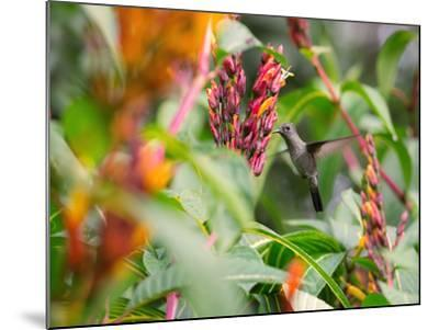 A Sombre Hummingbird, Aphantochroa Cirrochloris, Mid Flight Feeding from a Flower-Alex Saberi-Mounted Photographic Print