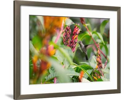A Sombre Hummingbird, Aphantochroa Cirrochloris, Mid Flight Feeding from a Flower-Alex Saberi-Framed Photographic Print