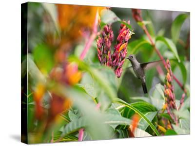 A Sombre Hummingbird, Aphantochroa Cirrochloris, Mid Flight Feeding from a Flower-Alex Saberi-Stretched Canvas Print