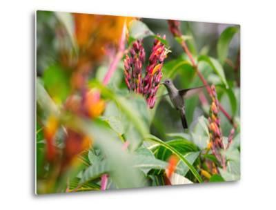 A Sombre Hummingbird, Aphantochroa Cirrochloris, Mid Flight Feeding from a Flower-Alex Saberi-Metal Print