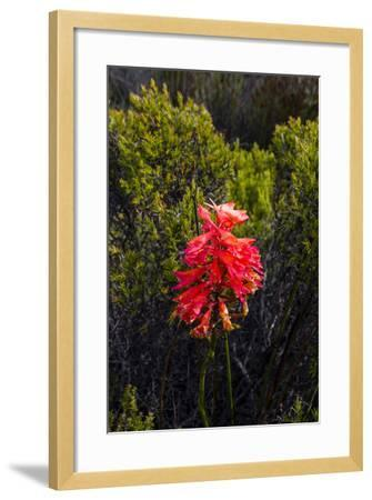 The Stunning Red Bloom of a Cluster Disa on the Summit of Table Mountain-Jason Edwards-Framed Photographic Print