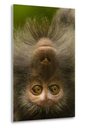 Close Up Portrait of a Long-Tailed or Crab-Eating Macaque, Macaca Fascicularis-Ralph Lee Hopkins-Metal Print