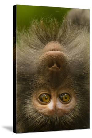 Close Up Portrait of a Long-Tailed or Crab-Eating Macaque, Macaca Fascicularis-Ralph Lee Hopkins-Stretched Canvas Print
