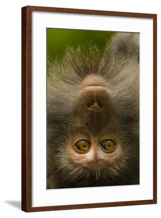 Close Up Portrait of a Long-Tailed or Crab-Eating Macaque, Macaca Fascicularis-Ralph Lee Hopkins-Framed Photographic Print