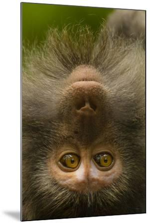Close Up Portrait of a Long-Tailed or Crab-Eating Macaque, Macaca Fascicularis-Ralph Lee Hopkins-Mounted Photographic Print