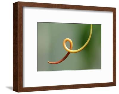 Close Up of a Vine Tendril-Darlyne A^ Murawski-Framed Photographic Print