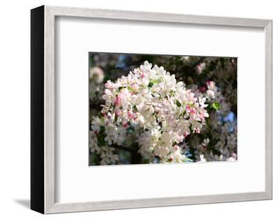 Flower-Covered Branches of a Tea Crabapple Tree, Malus Hupenhensis-Darlyne A^ Murawski-Framed Photographic Print