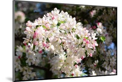 Flower-Covered Branches of a Tea Crabapple Tree, Malus Hupenhensis-Darlyne A^ Murawski-Mounted Photographic Print