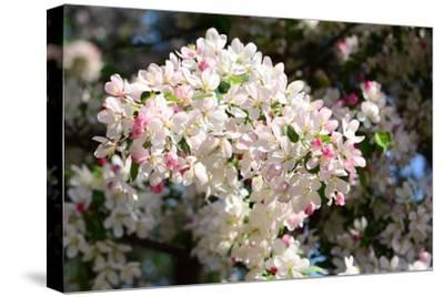 Flower-Covered Branches of a Tea Crabapple Tree, Malus Hupenhensis-Darlyne A^ Murawski-Stretched Canvas Print