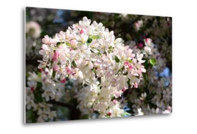 Flower-Covered Branches of a Tea Crabapple Tree, Malus Hupenhensis-Darlyne A^ Murawski-Metal Print