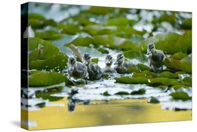 Mallard Ducklings, Anas Platyrhynchos, Walk across Lily Pads-Paul Colangelo-Stretched Canvas Print