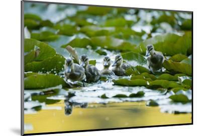 Mallard Ducklings, Anas Platyrhynchos, Walk across Lily Pads-Paul Colangelo-Mounted Photographic Print