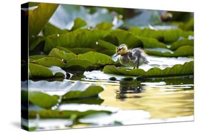 Mallard Ducklings, Anas Platyrhynchos, Walk across Lily Pads-Paul Colangelo-Stretched Canvas Print