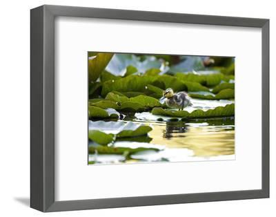 Mallard Ducklings, Anas Platyrhynchos, Walk across Lily Pads-Paul Colangelo-Framed Photographic Print