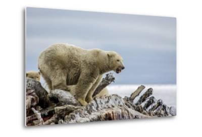 Polar Bears Feed on a Whale Carcass in Kaktovik, Alaska-Cristina Mittermeier-Metal Print