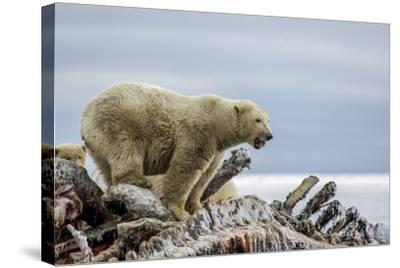 Polar Bears Feed on a Whale Carcass in Kaktovik, Alaska-Cristina Mittermeier-Stretched Canvas Print