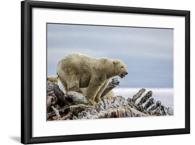 Polar Bears Feed on a Whale Carcass in Kaktovik, Alaska-Cristina Mittermeier-Framed Photographic Print