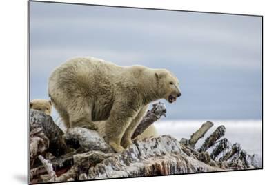 Polar Bears Feed on a Whale Carcass in Kaktovik, Alaska-Cristina Mittermeier-Mounted Photographic Print