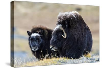 A Mother Musk Ox Protecting Her Calf on the Open Tundra-Jason Edwards-Stretched Canvas Print