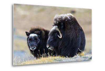 A Mother Musk Ox Protecting Her Calf on the Open Tundra-Jason Edwards-Metal Print