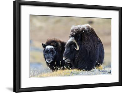 A Mother Musk Ox Protecting Her Calf on the Open Tundra-Jason Edwards-Framed Photographic Print