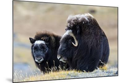 A Mother Musk Ox Protecting Her Calf on the Open Tundra-Jason Edwards-Mounted Photographic Print