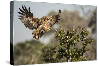 A Tawny Eagle Preparing to Land in a Tree Top-Bob Smith-Stretched Canvas Print