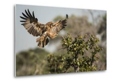 A Tawny Eagle Preparing to Land in a Tree Top-Bob Smith-Metal Print
