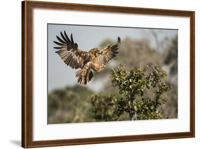 A Tawny Eagle Preparing to Land in a Tree Top-Bob Smith-Framed Photographic Print