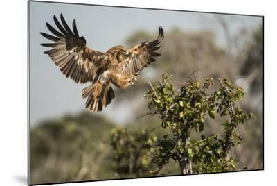 A Tawny Eagle Preparing to Land in a Tree Top-Bob Smith-Mounted Photographic Print