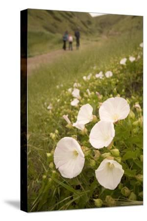 Morning Glory Flowers Grow on Santa Cruz Island-Phil Schermeister-Stretched Canvas Print