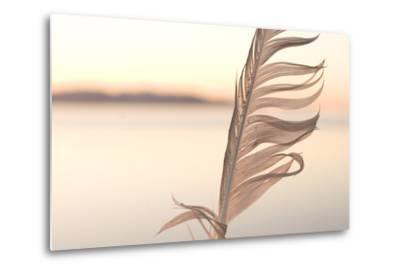 A Feather from a California Gull, Larus Californicus, Found on the Shoreline-Phil Schermeister-Metal Print