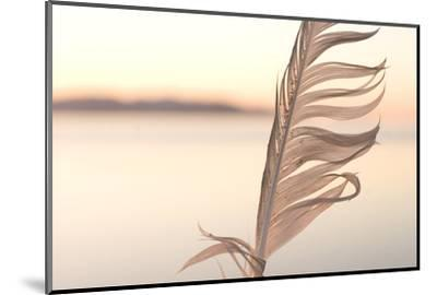 A Feather from a California Gull, Larus Californicus, Found on the Shoreline-Phil Schermeister-Mounted Photographic Print