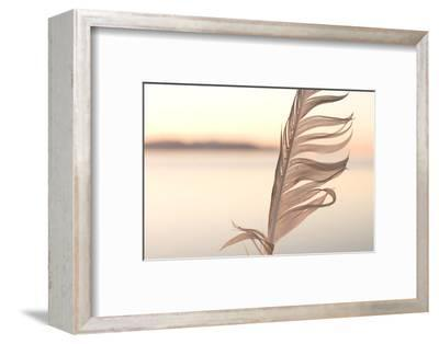 A Feather from a California Gull, Larus Californicus, Found on the Shoreline-Phil Schermeister-Framed Photographic Print
