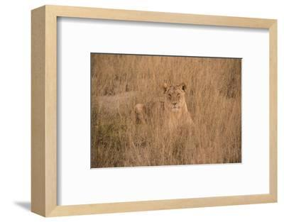 A Lioness Resting in Tall Grasses-Bob Smith-Framed Photographic Print