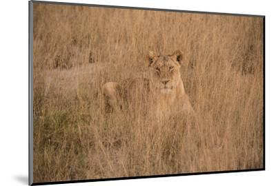 A Lioness Resting in Tall Grasses-Bob Smith-Mounted Photographic Print