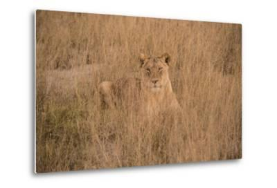 A Lioness Resting in Tall Grasses-Bob Smith-Metal Print