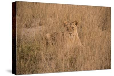 A Lioness Resting in Tall Grasses-Bob Smith-Stretched Canvas Print