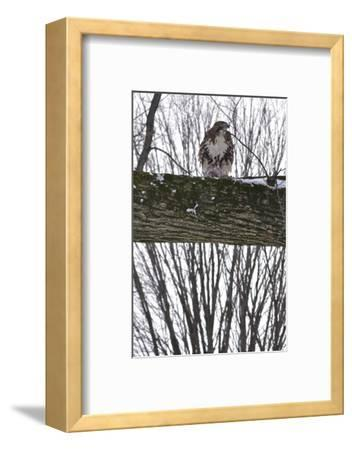 A Raptor Feeds on a Pigeon in Central Park-Kike Calvo-Framed Photographic Print
