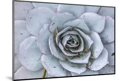 Close Up of a Succulent Plant-Macduff Everton-Mounted Photographic Print
