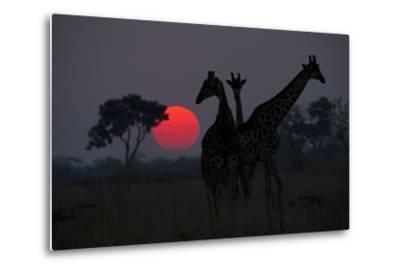 Three Giraffe Silhouettes Against the Setting Sun-Beverly Joubert-Metal Print