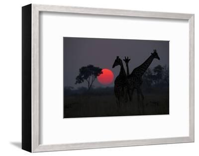 Three Giraffe Silhouettes Against the Setting Sun-Beverly Joubert-Framed Photographic Print